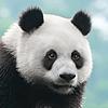 Медведи, панды