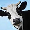 Домашний скот (коровы, свиньи и т.д)