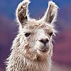 Ламы, альпаки