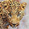 Пантеры, леопарды