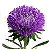 Астры, хризантемы