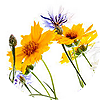 Полевые и дикие цветы