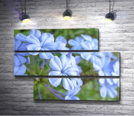Нежно-голубые цветы