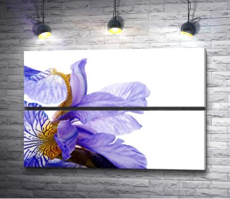 Лепестки голубого ириса