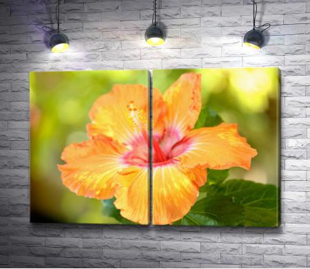 Оранжевый цветок гибискуса