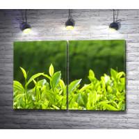 Зеленые чайные листья в солнечном свете