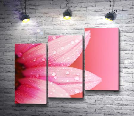 Лепестки розовой герберы с каплями росы