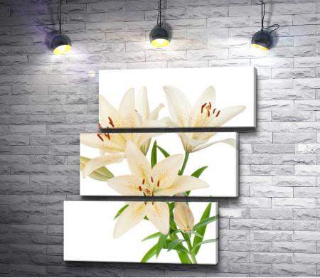 Три бело-желтых лилии на белом фоне