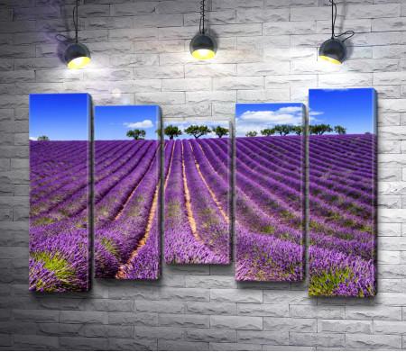 Лавандовое поле летом в Провансе. Франция