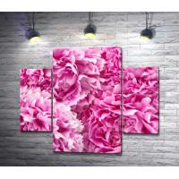 Бутоны розовых пионов
