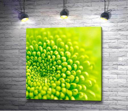 Нежно-зеленая хризантема. Макросъемка