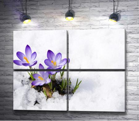 Крокусы весной на снегу