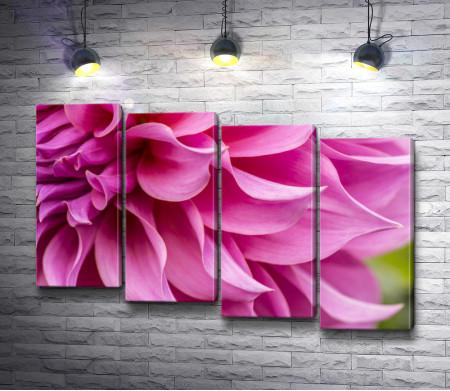 Ярко-розовая георгина