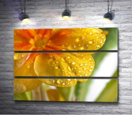 Желтый первоцвет с каплями воды