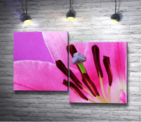 Розовая лилия. Макросъемка