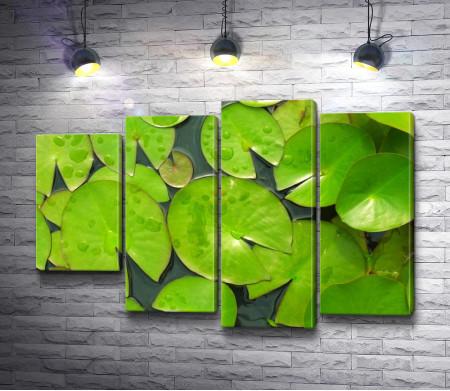 Зеленые листья водяной лилии
