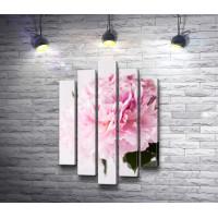 Нежно-розовый пион