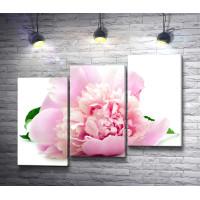 Нежно-розовый пион на белом фоне