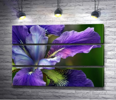 Фиолетовый ирис