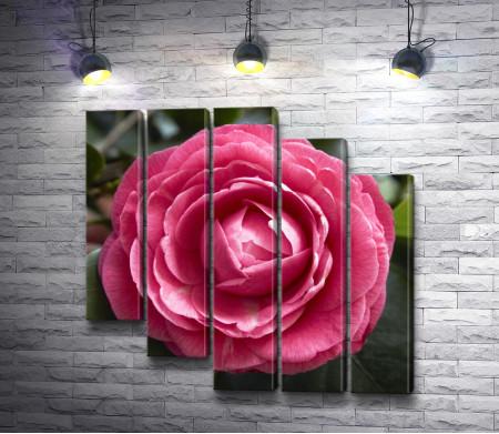 Розовый бутон камелии