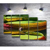 Амазонская водяная лилия