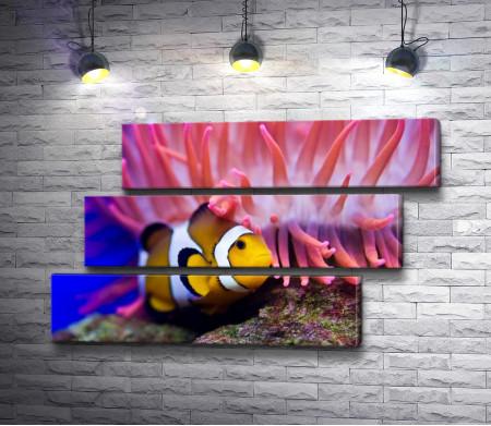 Рыба-клоун и кораллы