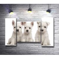 Три белых щенка породы терьер