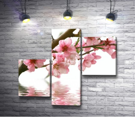 Сакура в цвету