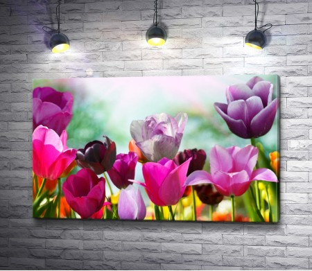 Розовые и лиловые тюльпаны