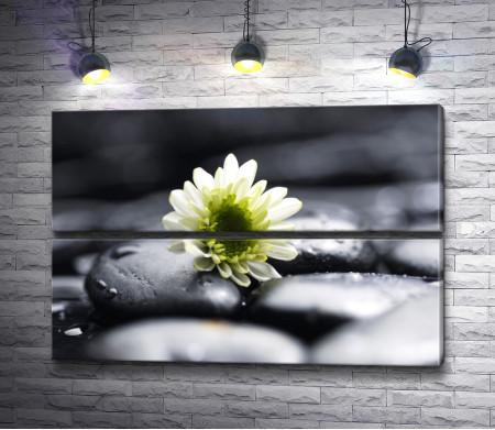 Зеленая хризантема на фото в черно-белой гамме