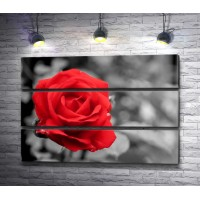 Красная роза на черно-белом фоне