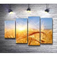 Пшеничные колосья во время рассвета
