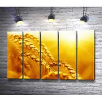 Колосья пшеницы. Макросъемка