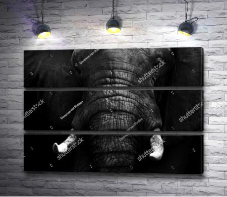 Морда слона, черно-белое фото