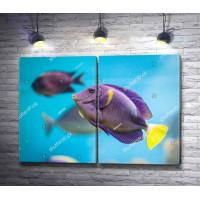 Тропическая рыба Зебрасома желтохвостая