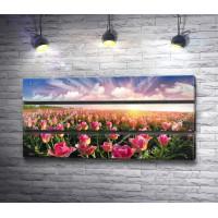 Солнце над полем розовых тюльпанов
