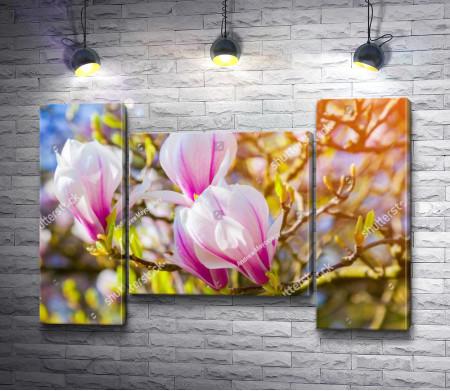 Цветущие бутоны розовой магнолии