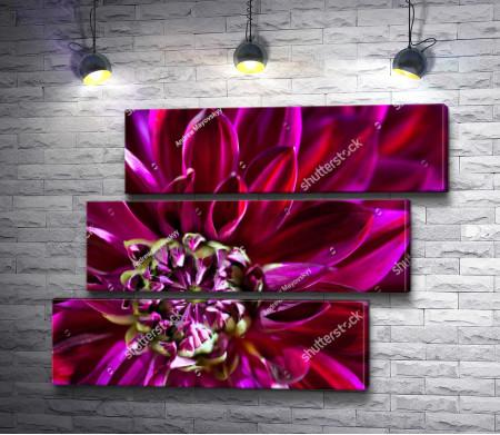 Фиолетовый георгин, макросъемка