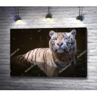 Тигр выходит из воды
