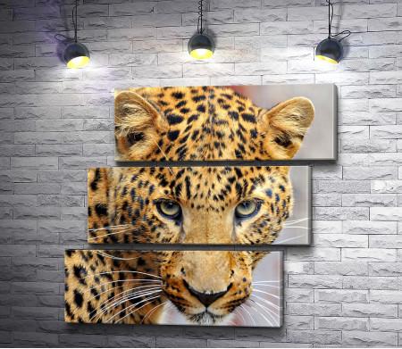 Хищный взгляд леопарда