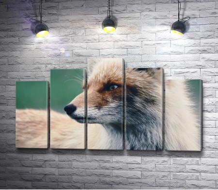 Морда лисицы, макросъемка