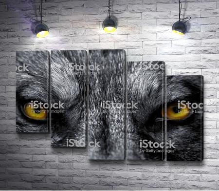 Хищный взгляд волка