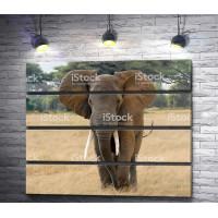 Слон на прогулке в Сафари