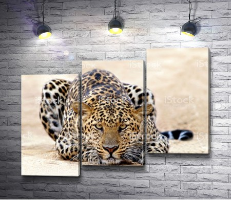 Леопард перед прыжком