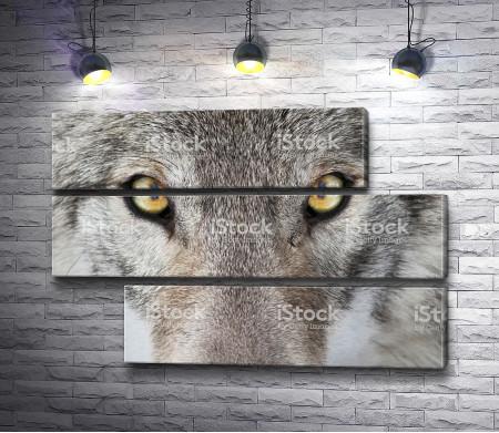 Волчий взгляд