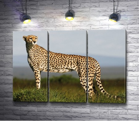 Грациозный гепард