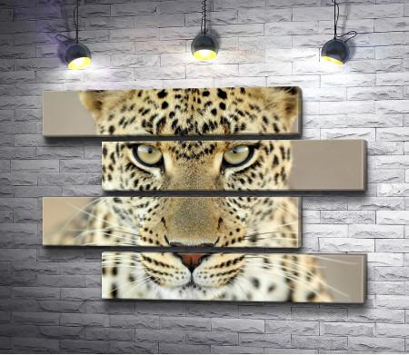 Взгляд гепарда