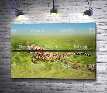 Гепард в движении