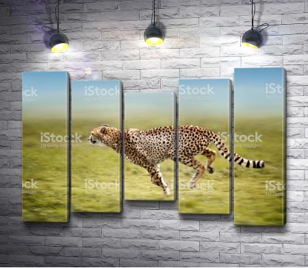 Гепард на пробежке