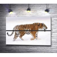 Тигр гуляет по снегу